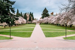 Cherry Blossoms in The Quad at UW