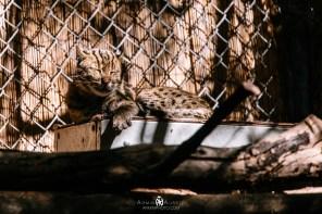Bobcat at the San Diego Zoo