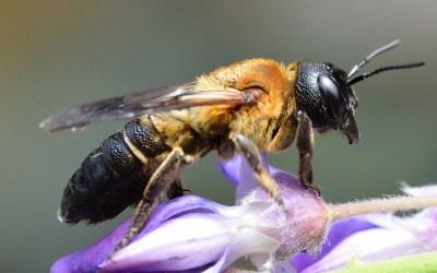 Megachile sculpturalis, se la vedete… ditelo in giro!