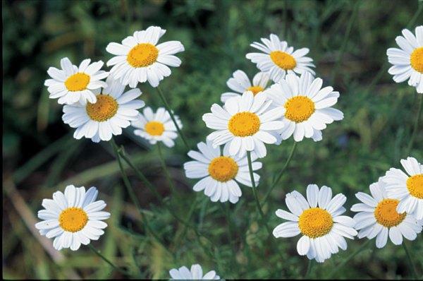 Dalmation Flower Chrysanthemum