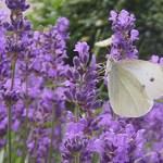 Lavande_papillon