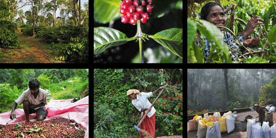 Aromas of coorg - our coffee