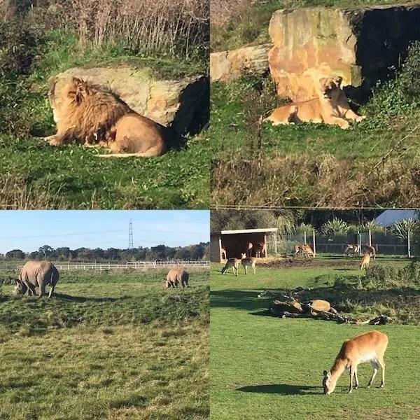 Lions, Rhino and Deer