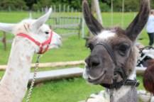 Mangfall-Lamas Pedro und Pablo