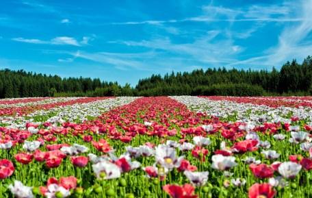 Blumenfelder rund um München