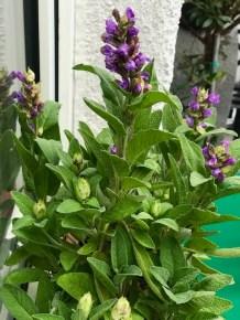 Bienenfreundliche Pflanzen - Lavendel