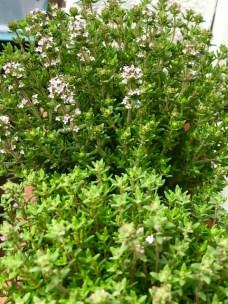 Bienenfreundliche Pflanzen - Thymian
