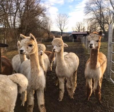Unser Erlebnisbauernhof in Oberbayern schlechthin – der Alpakas Saliterhof bei Peiting