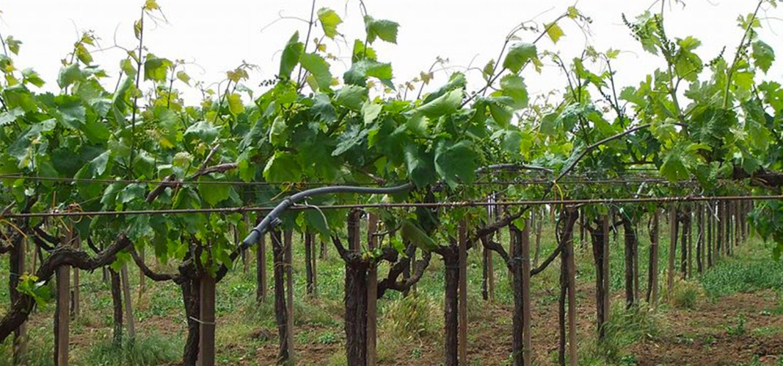Cecchina vines WikiCommons photo by Deblu68