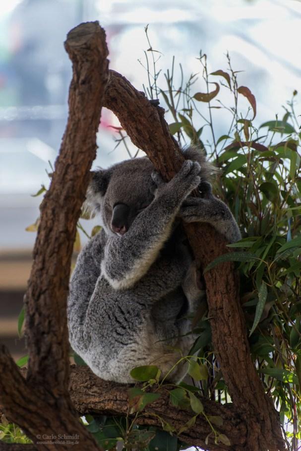 Kola beim Chillen im Zoo