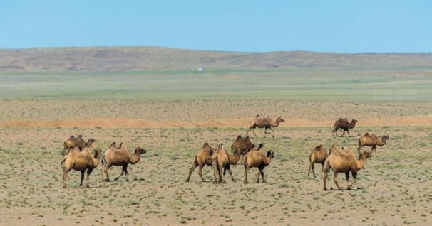 wilde Kamele in der Wüste Gobi