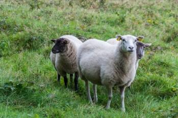 Schafe in den Mols