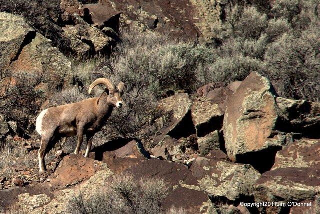 photography big horn sheep