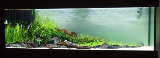Cycling Planted Tank for Arowana