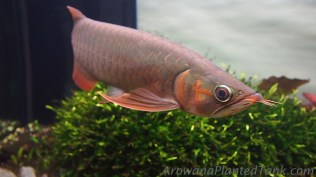 Gan Red+ Asian Arowana in Planted Tank