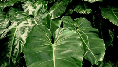 ENMA-philodendron-cordatum.png