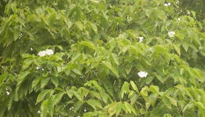 ENMA-sparattosperma-leucanthum.png