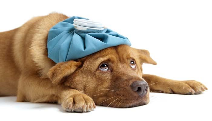 Intoxicações em animais domésticos