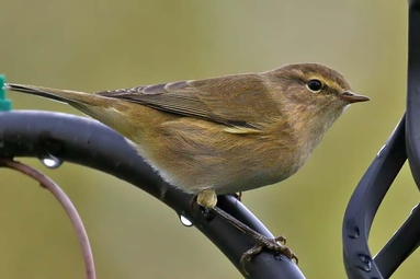 Image result for chiffchaff