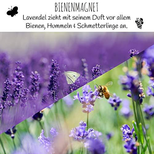 900x Semi di lavanda ad alto tasso di germinazione  Versatile pianta medicinale e ideale per api e farfalle incl eBook GRATUITO