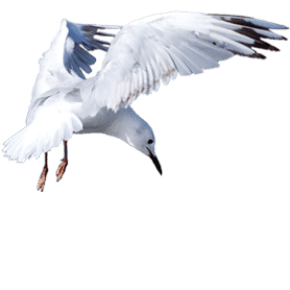 Black billed gull - tarāpuka