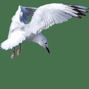 Black billed gull - tarāpuka