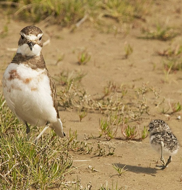 Female with chick