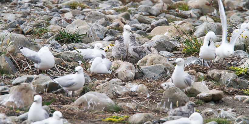 Pair of BBG chicks being fed, other gulls still on nests, 19 December 2019.