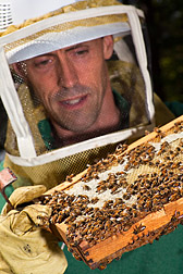 ARS entomologist Jay Evans inspects a comb of honey bees.