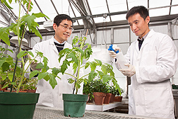 ARS molecular biologist Yan Zhao (left) observes as visiting scientist Wei Wu pretreats a tomato plant with salicylic acid to test its effectiveness against phytoplasma bacterial infections: Click here for photo caption.