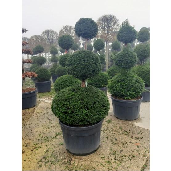 Taxus-baccata-trois-boules