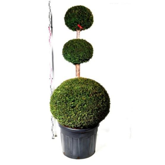 Taxus baccata trois boules