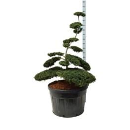 bonsai-ilex-crenata-convexa
