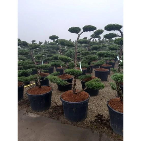 bonsai-juniperus-pfitzeriana
