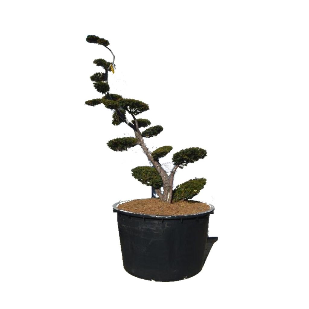 Bonsaï Taxus Baccata Densiformis