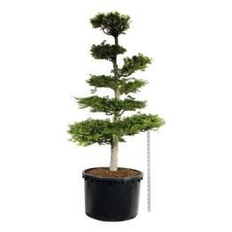 fagus-sylvatica-bonsai