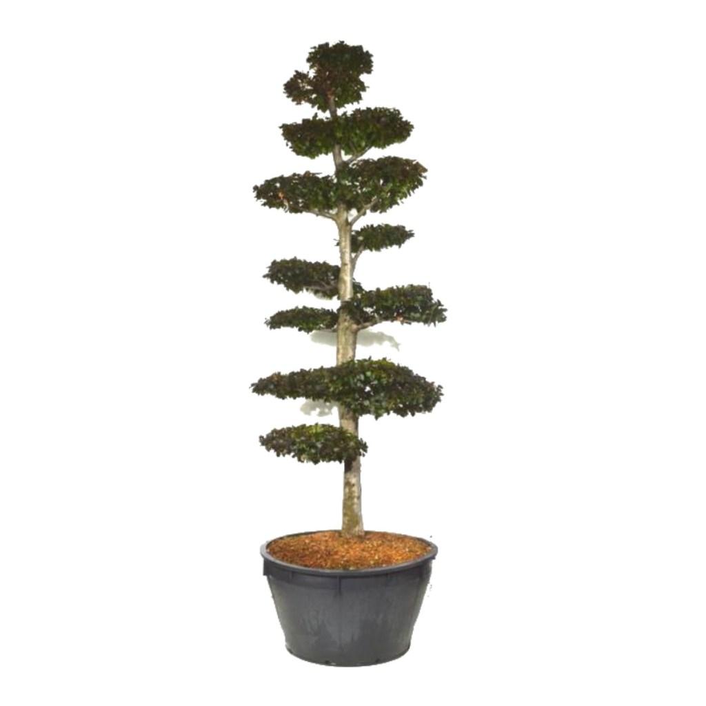 """Le Fagus Sylvatica """"Atropunicea"""" ou Hêtre pourpre est un arbre intéressant pour sa capacité à être taillé pour former rapidement un beau Bonsaï."""