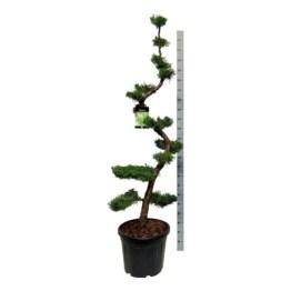 juniperus-chinensis-kaizuka