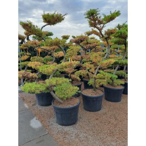 larix-kaempferi-bonsai