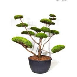 Juniperus Plum aurea