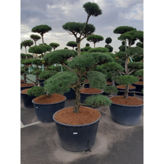 Pinus-sylvestris-bonsai