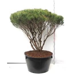 Pinus tanyosho compacta