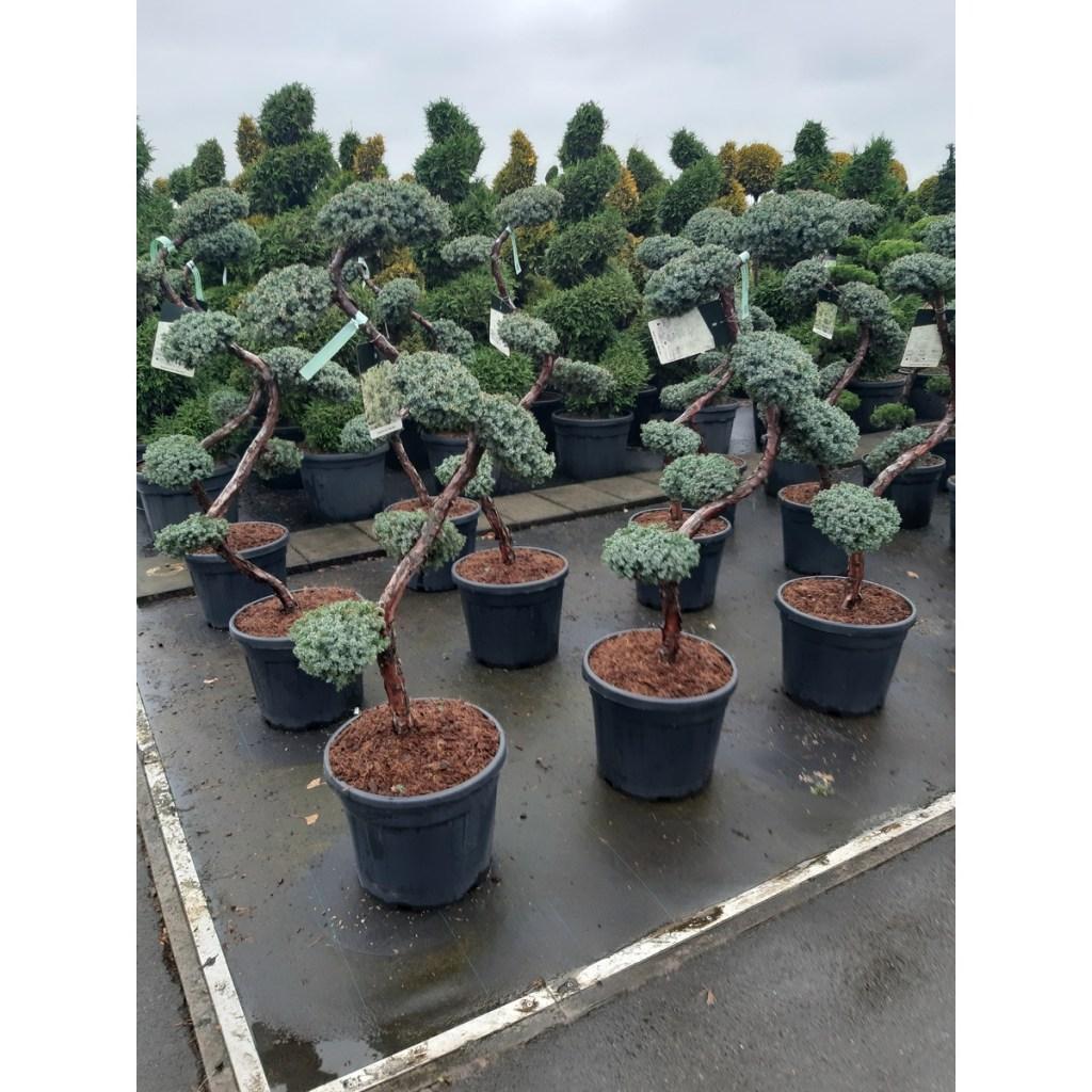bonsai-juniperus-blue-carpets