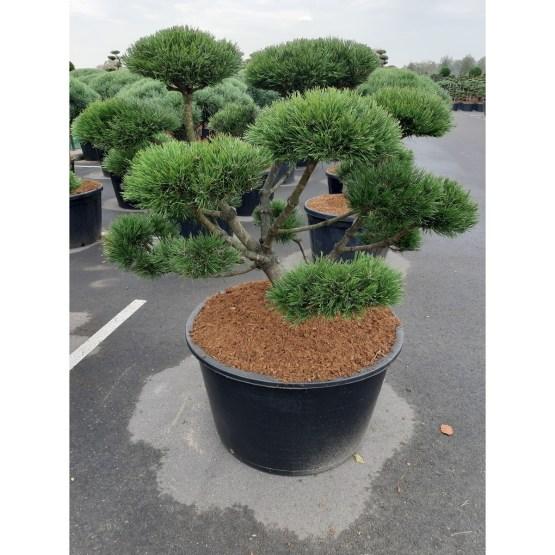 pinus-mugo-gnom-bonsai