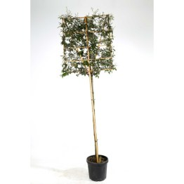 Quercus ilex palissé