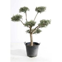 Olea-europaea-bonsai-nuage