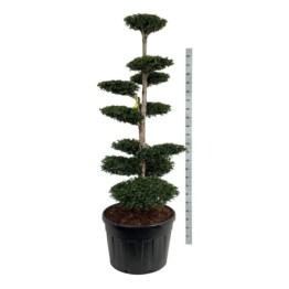 taxus-media-hatfieldii-bonsai