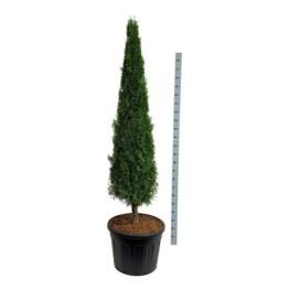 thuja-occ-smaragd-cone-sur-tige