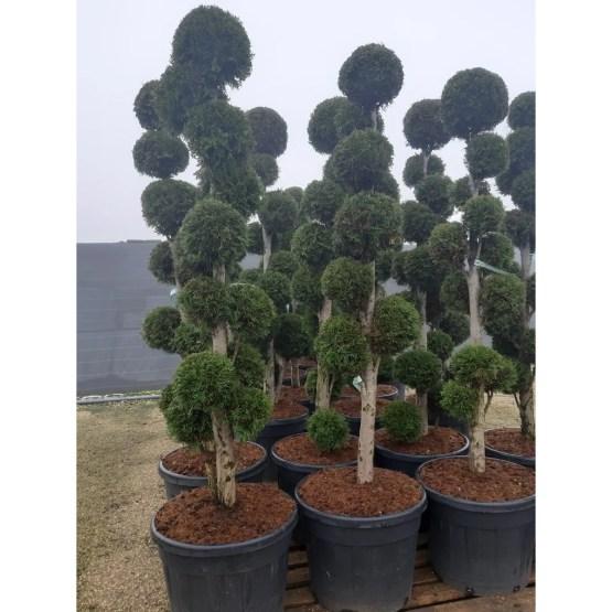 thuja-occidentalis-smaragd-pompon