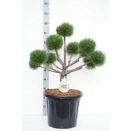 bonsai-pinus-brepo
